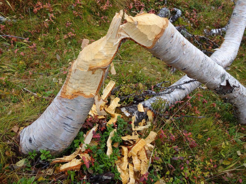 Tijdens een rugzaktrektocht door Noorwegen zien de wildernisgids en cursisten een door bevers doorgeknaagde boomstam liggen.