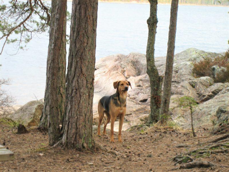 Bruin zwarte hond herderachtig staat tussen dennenbomen aan de rand van een meer in Zweden.