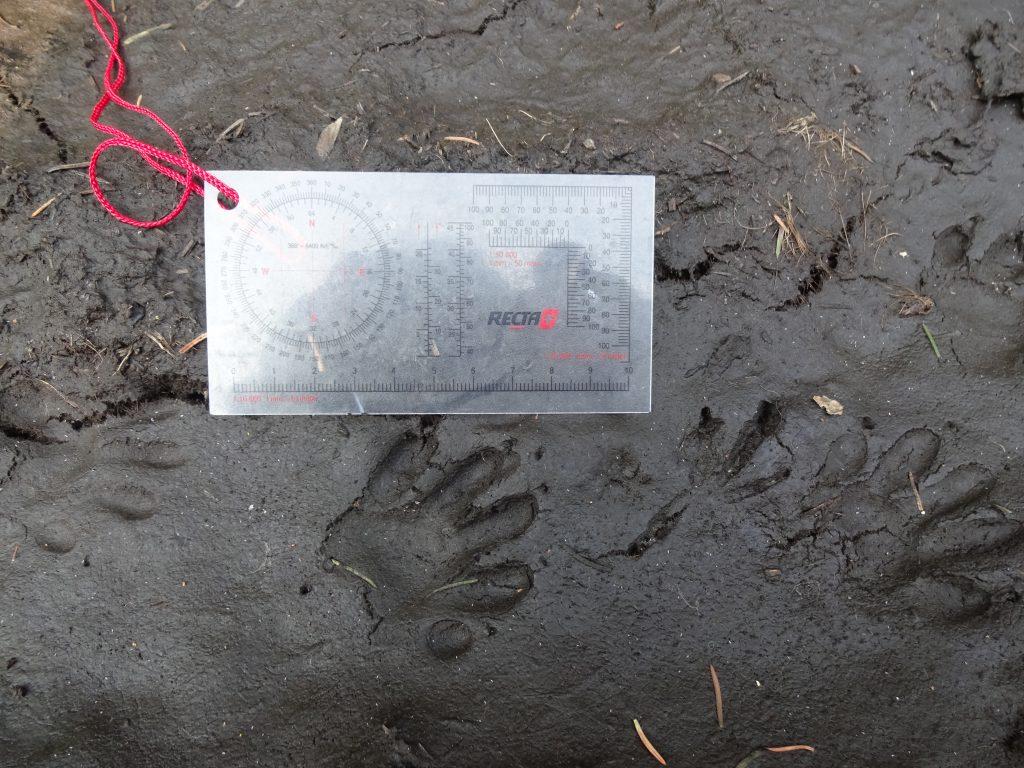 Een dasspoor in modder met daarnaast een kaarthoekmeter op de grootte van het spoor te bepalen.