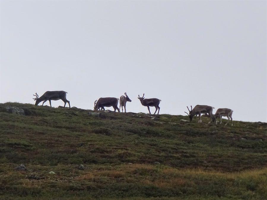 Tijdens een hiking met Northern Pioneers ontmoeten we een groepje rendieren dat staat te grazen in een heuvellandschap in Noorwegen Dovrefjell.