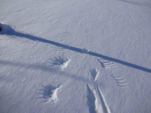 In de sneeuw staan vleugel en staart sporen van een vogel.