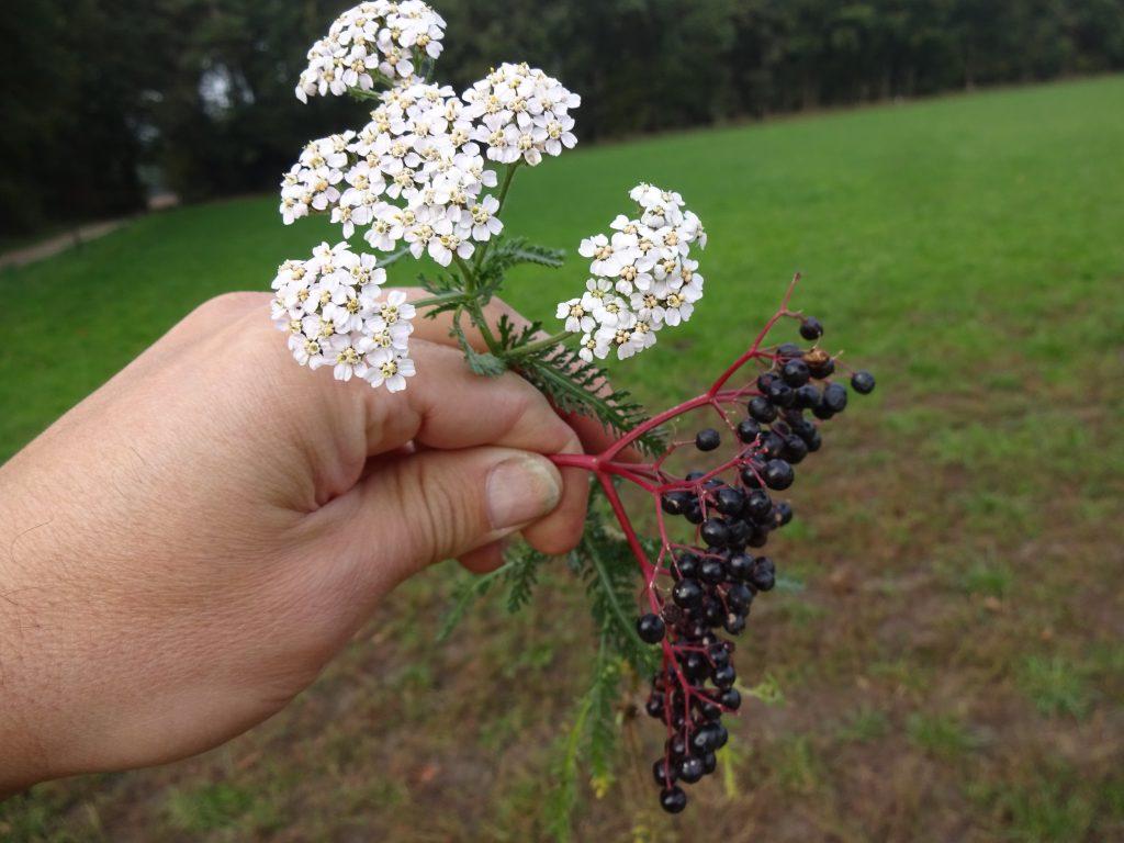 Wildernisgids houdt een wit groen fluitekruidplantje en een rood takje met zwarte vlierbessen in de hand vast.
