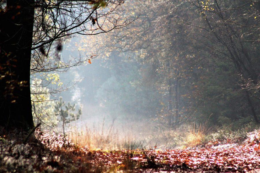 Tijdens een wandeling in de bossen van de Sallandse Heuvelrug valt het zonlicht en hangt er nevel tussen de bomen.