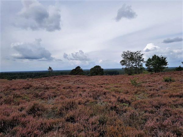 Uitzicht over de Sallandse Heuvelrug met mooie paarse heide tijdens een trekking.