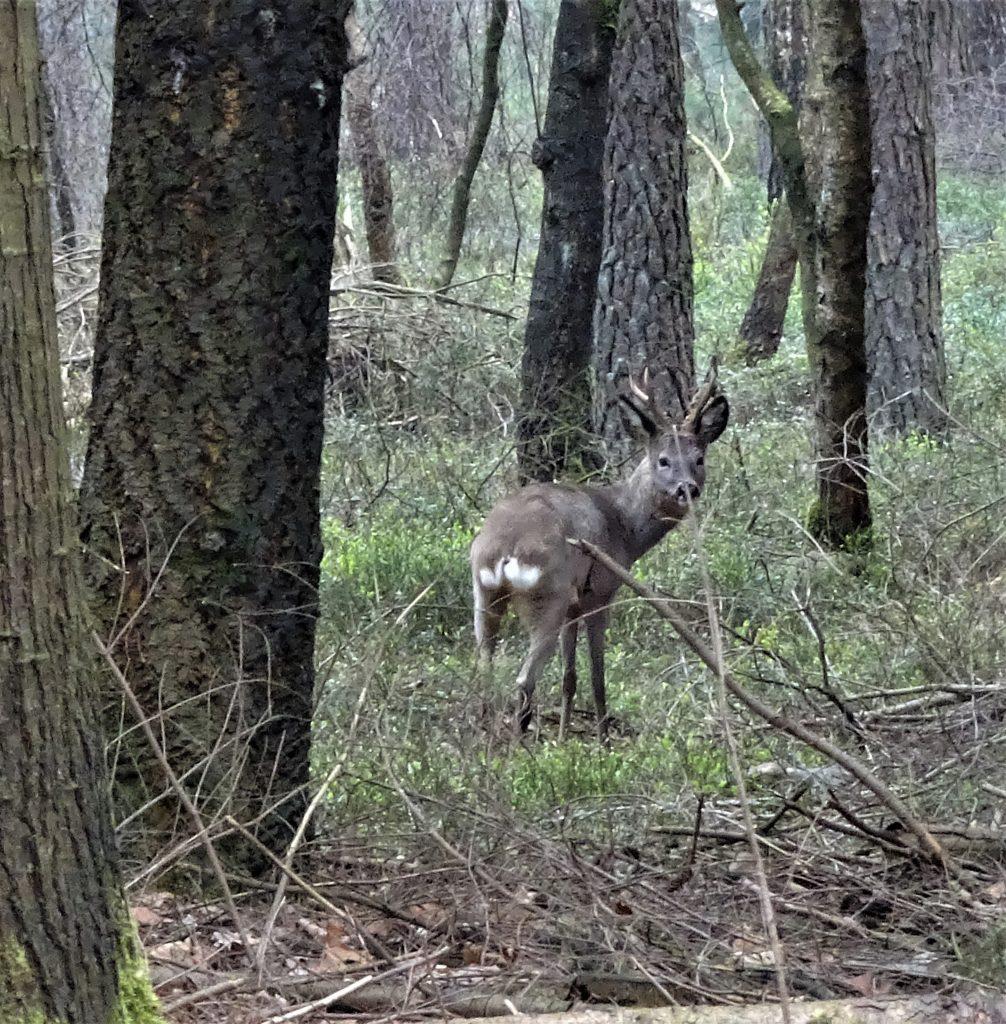 Reebok staat in de bossen van de Sallandse Heuvelrug.