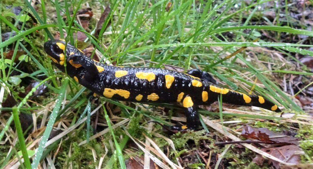Tijdens hiking ontmoeting met salamander in de natuur van de Harz in Duitsland