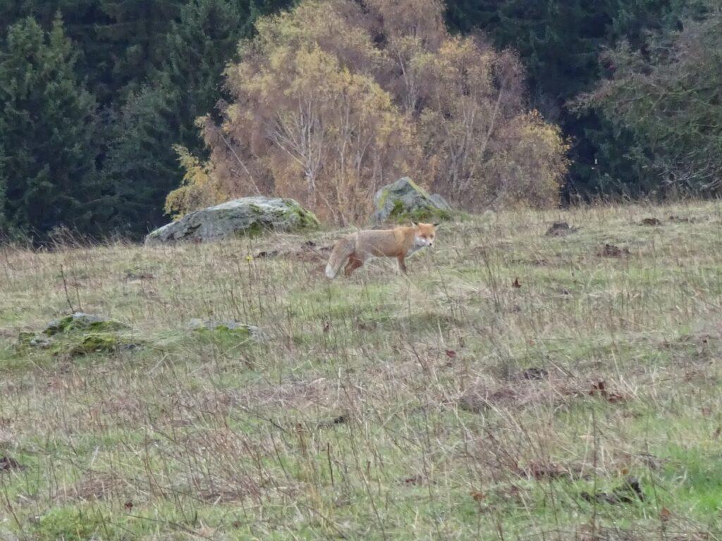 Tijdens hiking ontmoeting met vos in de natuur van de Harz Duitsland